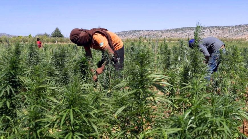 الحكومة تصادق على مشروع قانون تقنين زراعة الكيف بالمغرب